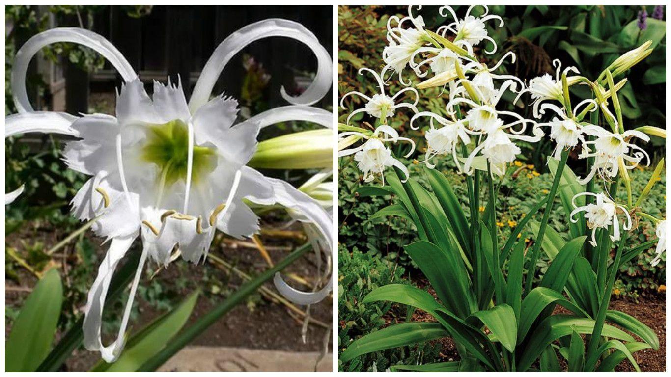 Семейство лилейные (49 фото представители, лилия, другие)