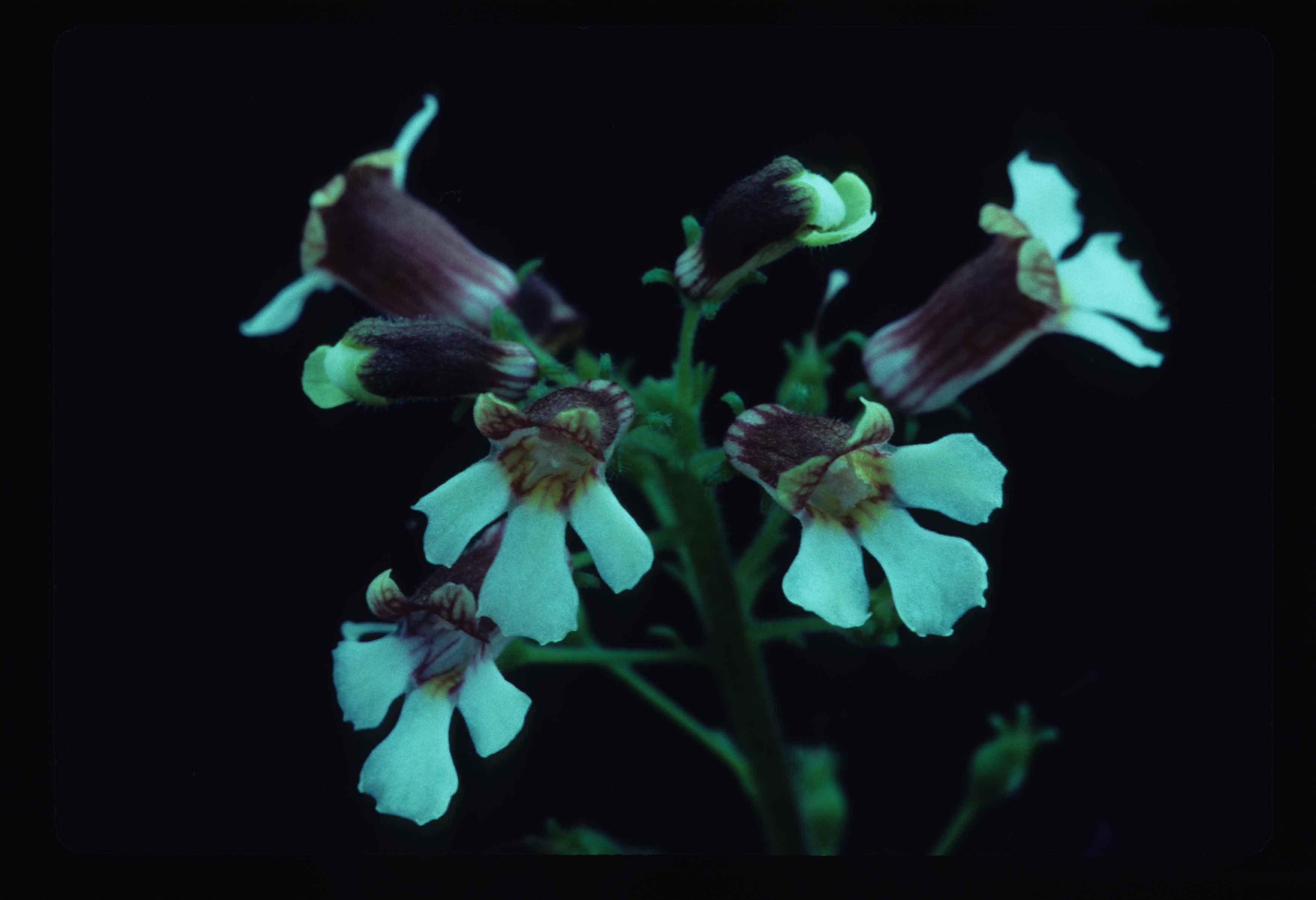 Глоксиния Erinoides