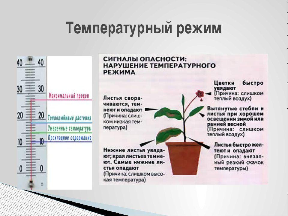 мобиль Как влияет температурный режим при выращивании зеленого лука как