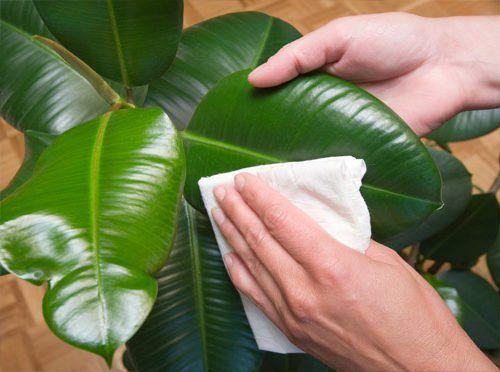 протирание комнатных растений