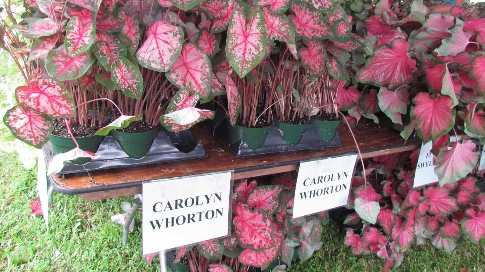 Каладиум Carolyn Whorton
